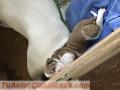 Alapaha Bulldog Blue blood puppies 🐶